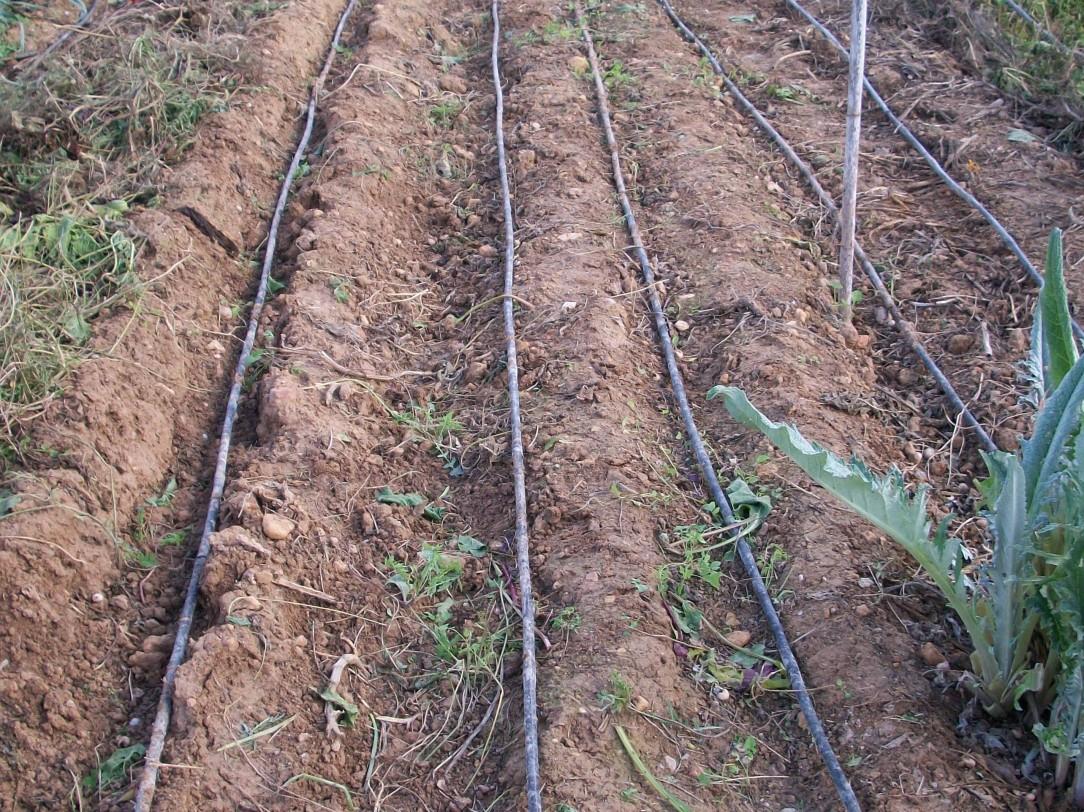 verduras-ecologicas-de-otono-bacarot-alicante-100_3805-2