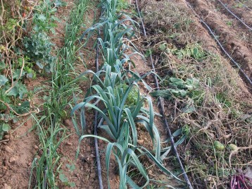 verduras-ecologicas-de-otono-bacarot-alicante-100_3807-2