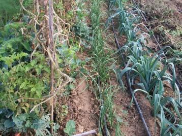 verduras-ecologicas-de-otono-bacarot-alicante-100_3808