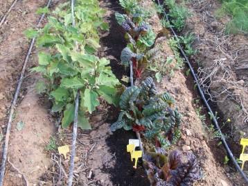verduras-ecologicas-de-otono-bacarot-alicante-100_3811-2
