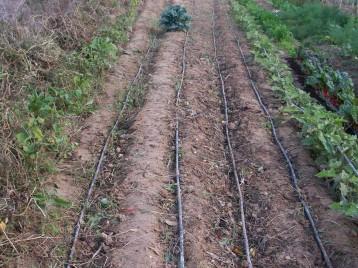 verduras-ecologicas-de-otono-bacarot-alicante-100_3813