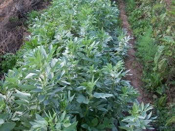verduras-ecologicas-de-otono-bacarot-alicante-100_3816