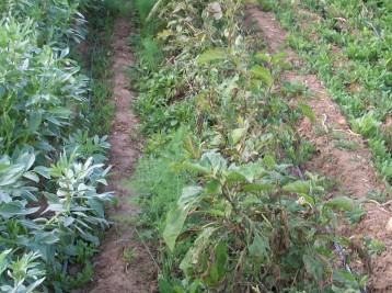 verduras-ecologicas-de-otono-bacarot-alicante-100_3817
