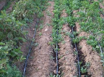 verduras-ecologicas-de-otono-bacarot-alicante-100_3818