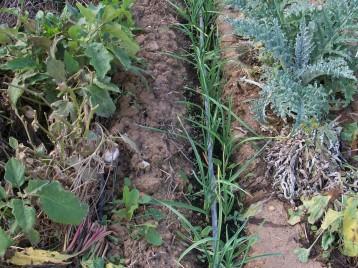 verduras-ecologicas-de-otono-bacarot-alicante-100_3820-2