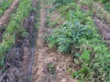verduras-ecologicas-de-otono-bacarot-alicante-100_3823