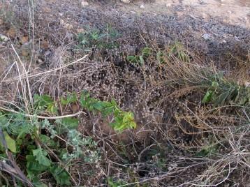 verduras-ecologicas-de-otono-bacarot-alicante-100_3826-2