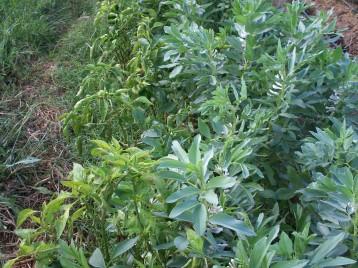verduras-ecologicas-de-otono-bacarot-alicante-100_3831-2
