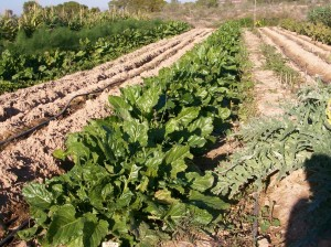 verduras-ecologicas-invierno-bacarot-alicante-100_3944