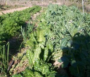 verduras-ecologicas-invierno-bacarot-alicante-100_3953