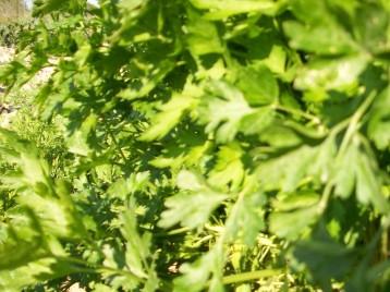verduras-ecologicas-invierno-alicante-100_4110