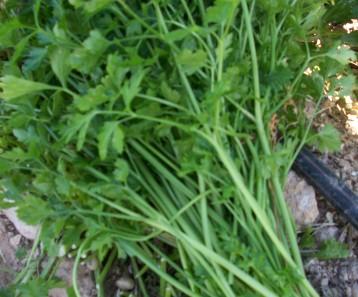 verduras-ecologicas-invierno-alicante-100_4112