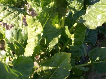 verduras-ecologicas-invierno-alicante-100_4116