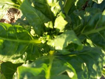 verduras-ecologicas-invierno-alicante-100_4117