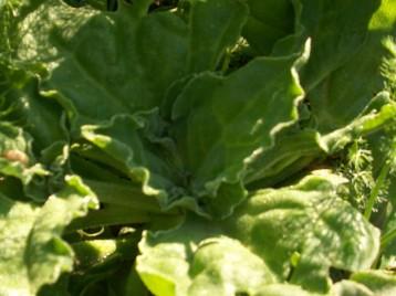 verduras-ecologicas-invierno-alicante-100_4130