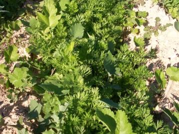 verduras-ecologicas-invierno-alicante-100_4157