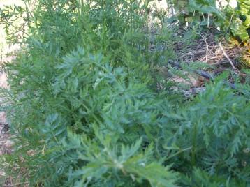verduras-ecologicas-invierno-alicante-100_4162
